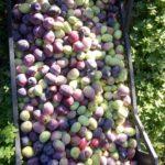 Agriturismo Bocco Aglientu. Gli Antipasti. Le Olive.